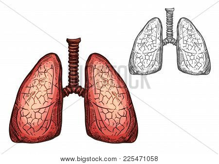 Lung Organ Of Human Anatomy Isolated Sketch Of Respiratory System. Pair Of Lungs, Internal Organs Of