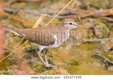 Closeup Common Sandpiper, Palearctic wading bird stands on muddy ground with shallow water in Thailand (Actitis hypoleucos)