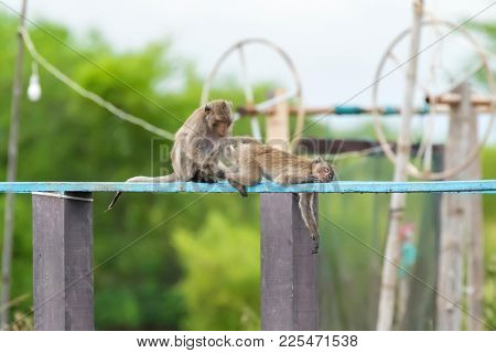 Monkey couple grooming, looking for lice tick bug on wooden board (Long-tailed Macaque, also called Crab-eating Macaque)