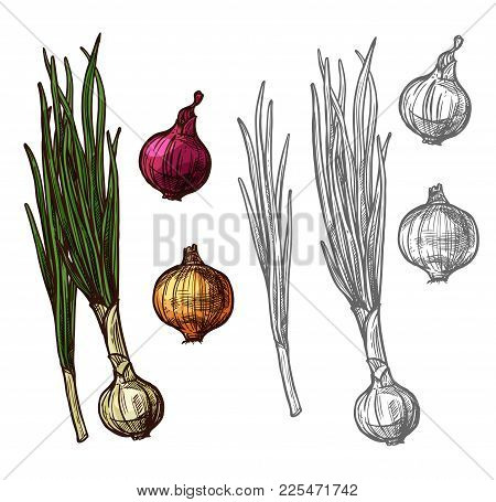 Onion Vegetable With Green Leaf Sketch Of Spicy Plant. Yellow, Red And White Bulb Onion, Fresh Sprou