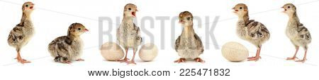 Set cute fluffy chickens turkey isolated on white background