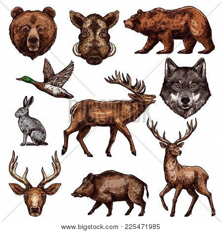 Animal And Bird Sketch Of Wild Forest Bear, Deer And Duck, Wolf, Reindeer And Grizzly, Elk, Boar And