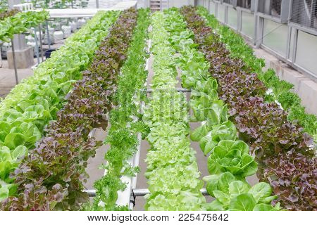 Hydroponics Greenhouse. Organic Green Vegetables Salad In Hydroponics Farm For Health, Food And Agri