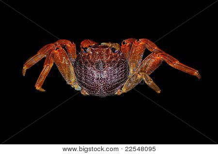 Saltwater crab seen from above scientific name adsensionis grapsus poster