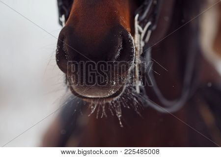 Nose Is Horse. Close-up Detail Of Brown Horse, Bridle, Saddle. Winter, Snow