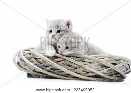 Two Small Blue-eyed Newborn Fluffy Kittens Being Curious And Looking To The Side While Playing In Wh