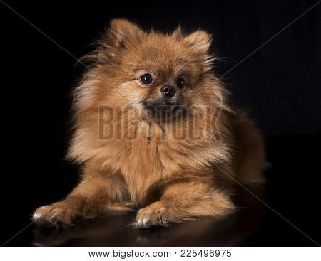 Pomeranian Spitz In Front Of Black Background