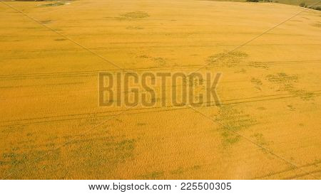Aerial View Wheat Field. Golden Wheat Field. Yellow Grain Ready For Harvest Growing In A Farm Field.