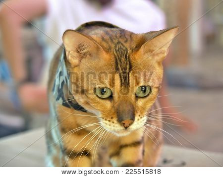 Bengal Cat In A Camouflage Scarf Looking To Something.