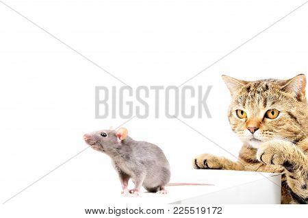 Cat Scottish Straight Hunts Gray Rat, Isolated On White Background