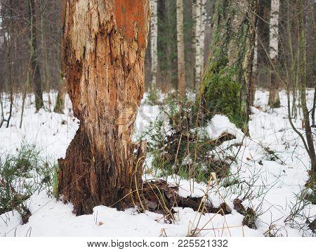 Rotten Broken Tree In The Woods. Winter, Snow