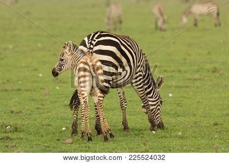 Zebra Mother And Foal On The Grasslands Of The Maasai Mara, Kenya
