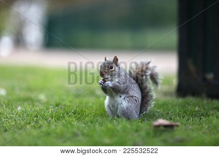 Squirrel Nibbling An Acorn In The Park