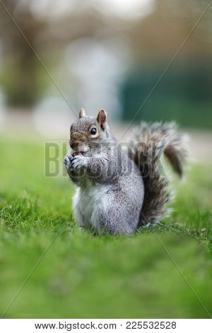 Squirrel Nibbling A Biscuit In The Park