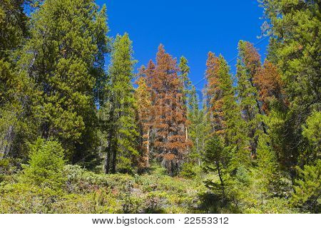 Dried Out Evergreen Trees In A Lush Forest