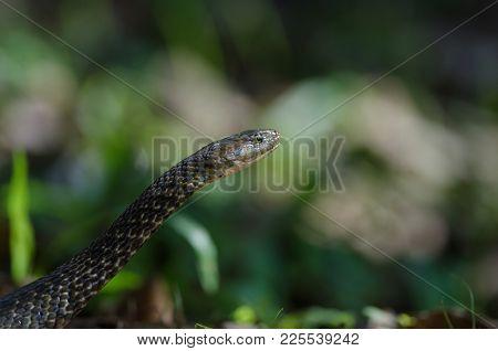 Checkered Keelback Snake In Forest