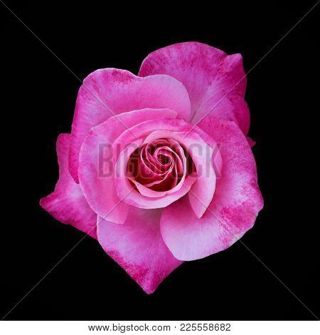 Pink Rose Isolated On Black Background, Image Dark Tone