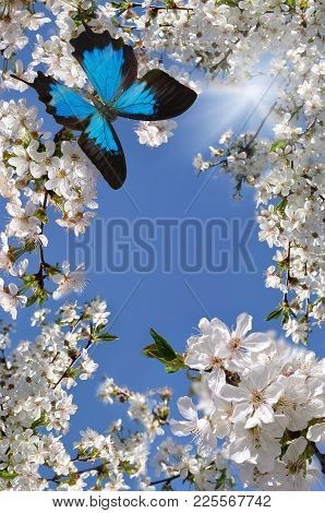 Blue Butterfly  And White Flowers To Cherries On Background Sky