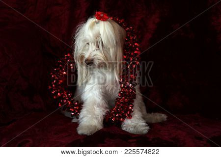 Maltese dog with a Valentines Day Heart on a red burgundy velvet background