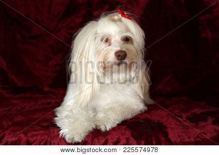 Maltese dog portrait on burgundy red velvet background