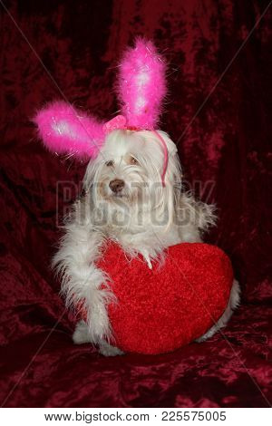 Maltese dog valentines day portrait wearing Pink Bunny Ears, a White Boa and holding a Red Heart Pillow against a burgundy red velvet background