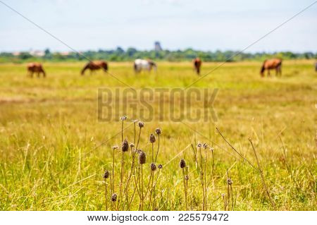 Closeup Of Dry Thistle Crop With Horse Gazing In Field