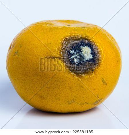 Moldy Wound On Ripe Orange Mandarin. Spoiled Rotten Fruit Citrus Tangerine Lies On A White Backgroun