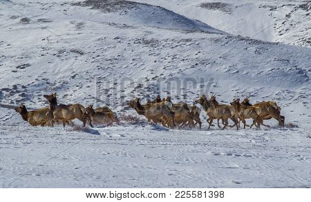 A Small Herd Of Elk Running Through Snow In A Winter Landscape