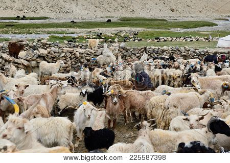 Stone Homestead Indian Changpa To Farm Animals, Goats From Which They Are Collect Pashmina Wool. The