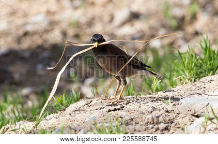 Indian Starling Collecting Grass For Nest . In The Park In Nature