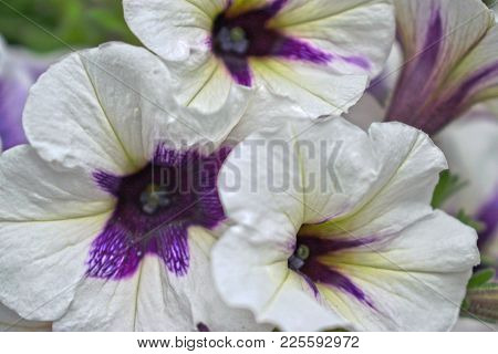 Closeup Of White And Purple Morning Glories