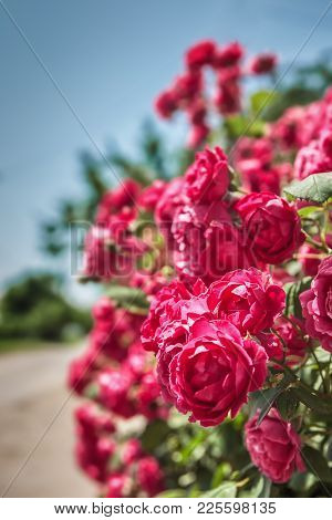Pink Roses Bush On The Blue Sky Background