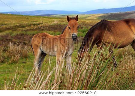 Exmoor Pony colt