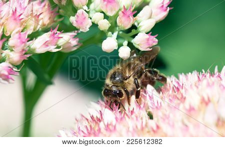 Bee  Collects Nectar On The Flowers Of Sedum Prominent. Macro Of Honey Bee (apis) Feeding On Pink (r
