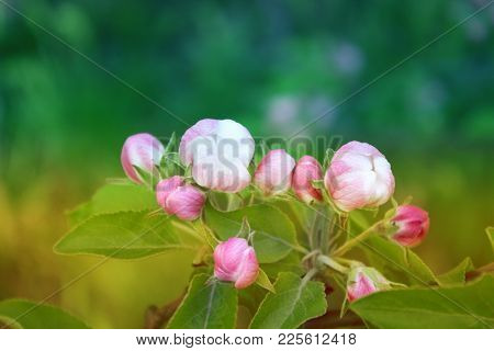 Spring Background With Branch Of Blooming Spring Apple Tree. Closeup Of Spring Flowers Of Blooming A