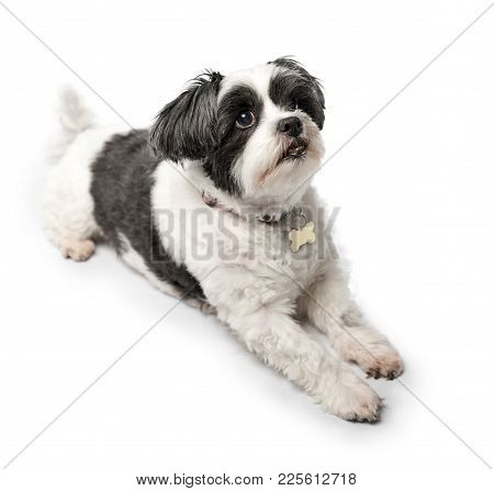 Cute, Adorable And Cuddly Black Or Grey And White Lhasa Apso Dog Isolated On A Pure White Studio Bac