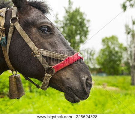 The Head Of A Country Horse With An Old Harness. Russia