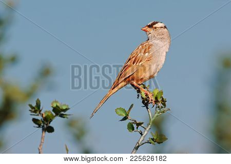 A Migratory Bird Called A Crowned Sparrow. This One Was Perched On A Branch Near Sedona Arizona.