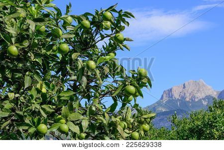 Green Oranges Ripening On A Tree In Soller Valley.