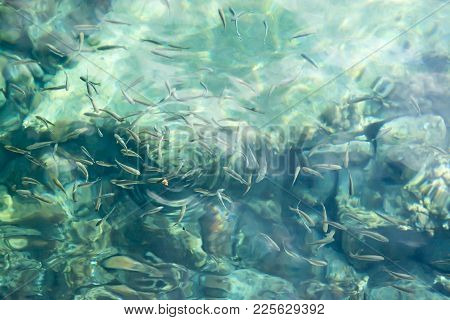 Fish Eager For A Piece Of Bread In Clear Azure Water. Mediterranean Ocean, Mallorca, Balearic Island