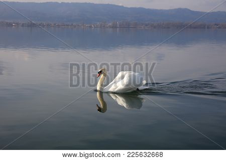 Swan (cygnus) On Lake Constance In Germany. Europe