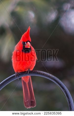 Stunning Red Plumage On This Male Cardinal That Still Has Suet On His Beak From The Feeder.