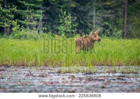 A Young Moose Calf Wandering The Edge Of The Lake. Ontario, Canada.