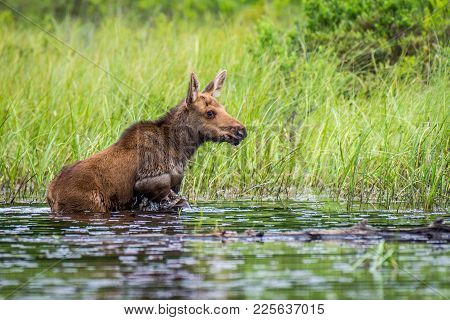 A Young Moose Calf At The Shore Of A Lake. Ontario, Canada.