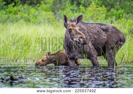 Moose Cow And Calf At The Edge Of The Lake. Ontario, Canada.