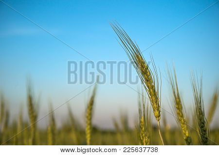 Image Of  Barley Corns Growing In A Field