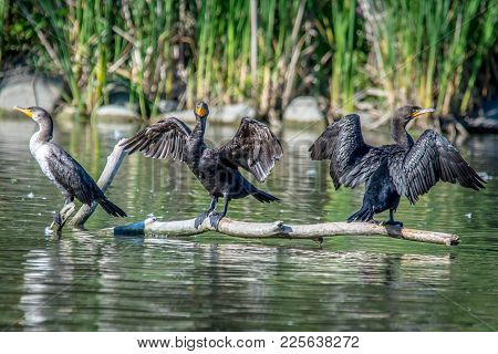 Common Cormorants Drying Off Their Wings In The Sun On A Log, After Diving For Fish In The Pond. Ont