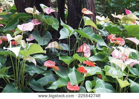 Group Of Anthurium Flower In The Tropical Garden