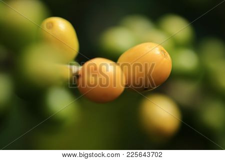 Close Up Of Green Coffee Beans Yellow Seed Color On A Branch Of Arabica Coffee Tree, With Unripe Fru