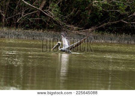 Brown Pelican Pelecanus Occidentalis In A Marsh On Marco Island